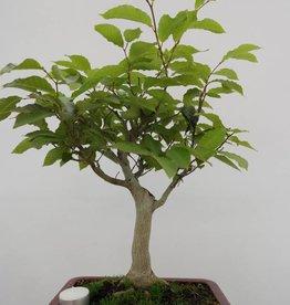 Bonsai Fagus crenata, no. 6445
