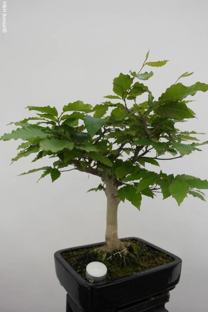 Bonsai Japanese beech, Fagus crenata, no. 6443