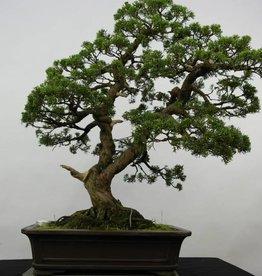 Bonsai Juniperus chinensis, no. 6479