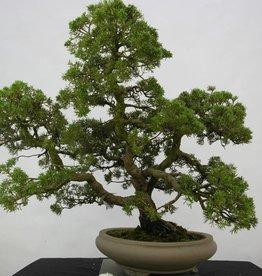 Bonsai Juniperus chinensis, no. 6487