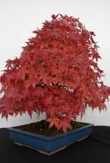 Bonsai Acer palmatum, no. 5509