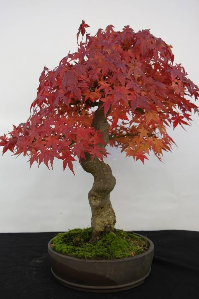 Bonsai Acer palmatum, no. 5117