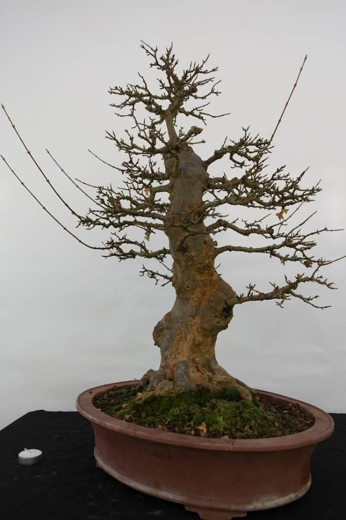 Bonsai Acer buergerianum, no. 5184