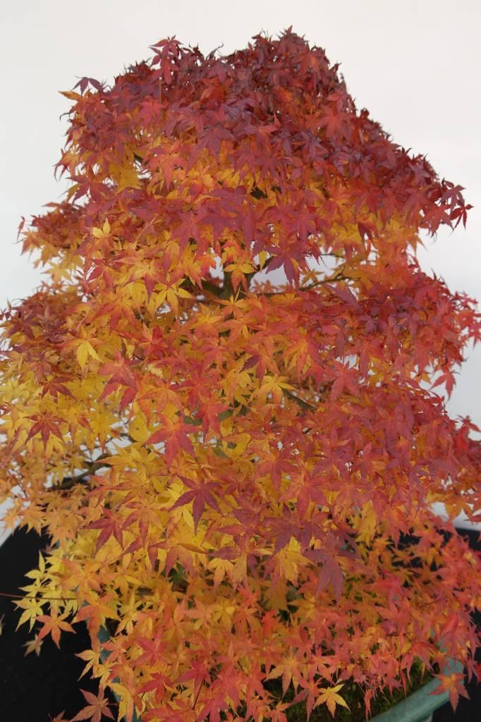 Bonsai Acer palmatum, no. 5499