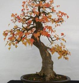 Bonsai Acer buergerianum, no. 5114