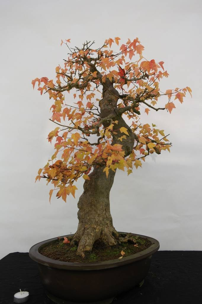 Bonsai Acer buergerianum, no. 5114