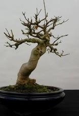 Bonsai Acer buergerianum, no. 5513
