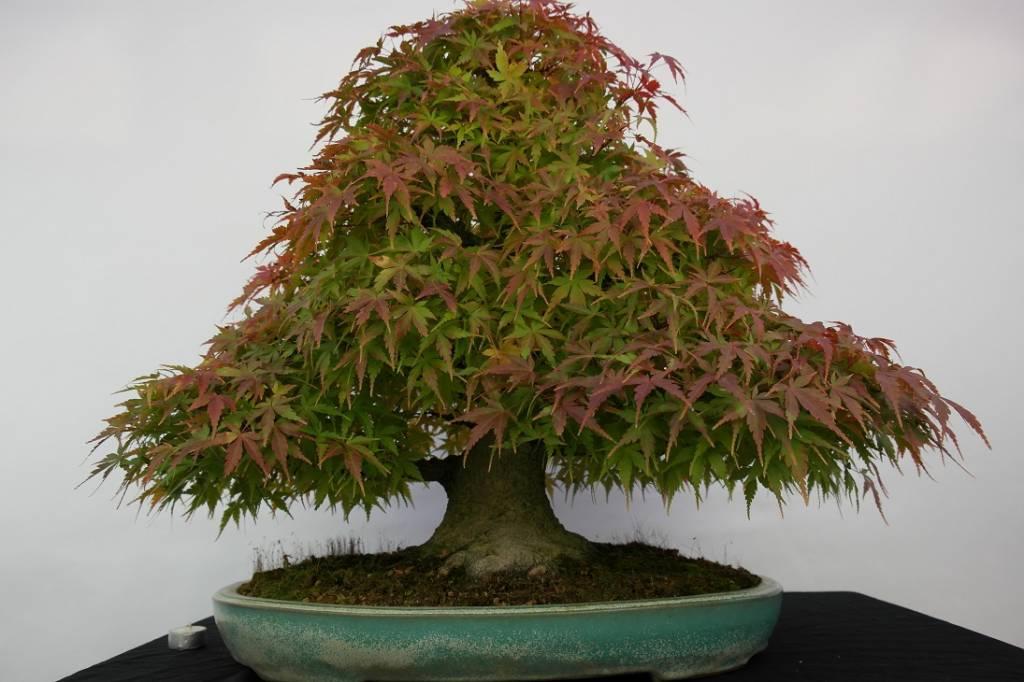 Bonsai Acer palmatum, no. 5521