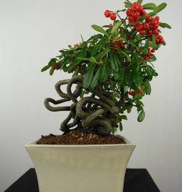 Bonsai Pyracantha, no. 6524