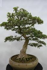 Bonsai Azalea Satsuki Kaho, no. 5874