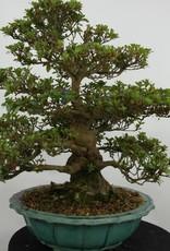Bonsai Azalea Satsuki, no. 5251