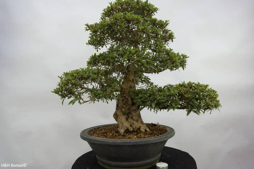Bonsai Azalea SatsukiKozan, no. 5697