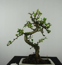 Bonsai Carmona macrophylla, no. 6560