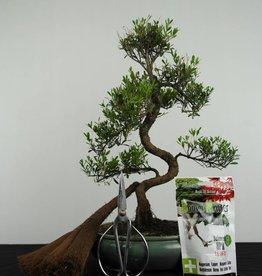 Set de regalo Syzygium bonsai, no. G37