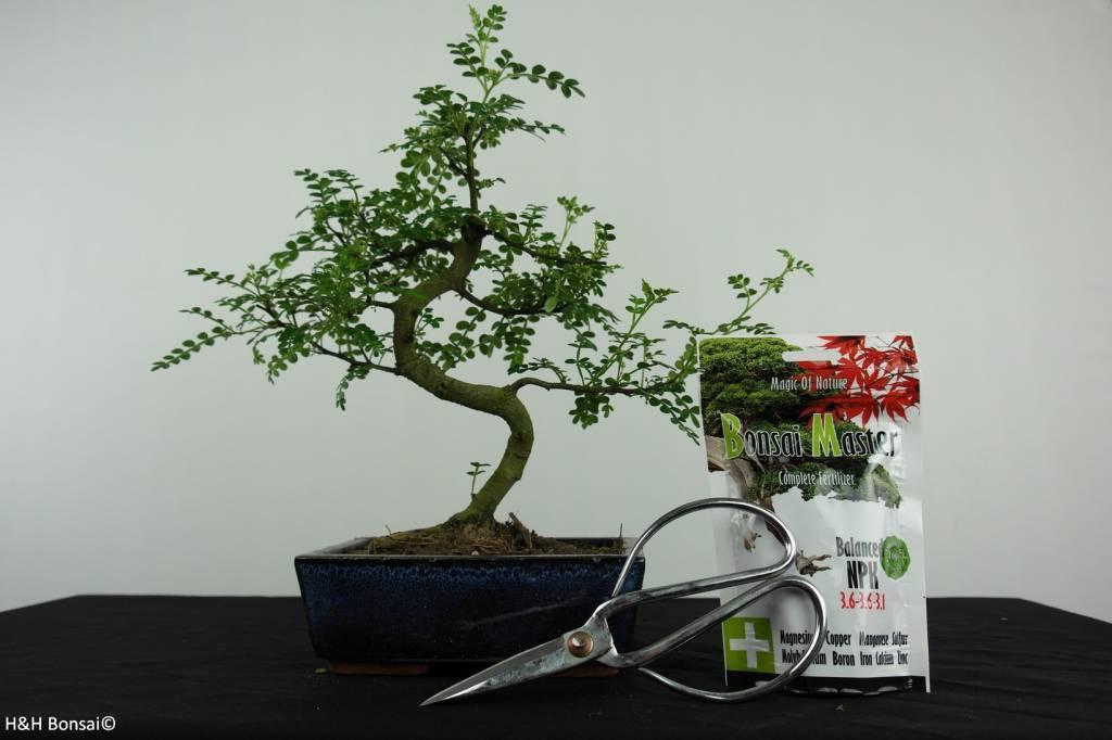 Bonsai gift set Japanese Pepper, no. G39
