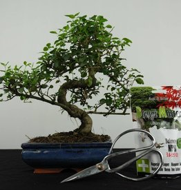 Set de regalo Ligustrum bonsai, no. G40