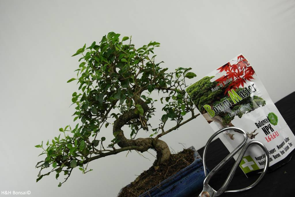 Bonsai gift set Privet, no. G40