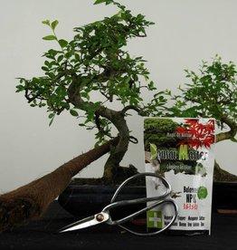 Set de regalo combinación Ulmus y Ligustrum bonsai, no. G42
