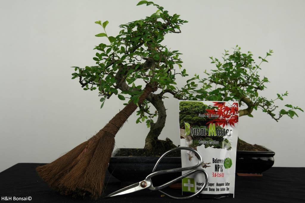 G42 Bonsai gift set Combi Chinese Elm and Privet, no.