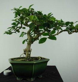 Bonsai Malpighia glabra, no. 6626