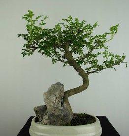 Bonsai Zanthoxylum piperitum, no. 6666