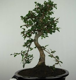Bonsai Ulmus, no. 6687