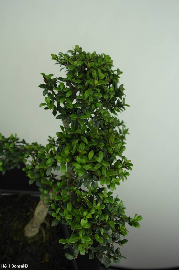 Bonsai Japanese Holly, Ilexcrenata, no. 6713
