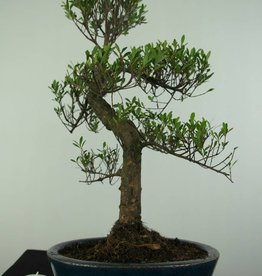 Bonsai Syzygium sp., no. 6728