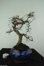 Bonsai Chinese Elm, Ulmus, no. 6773