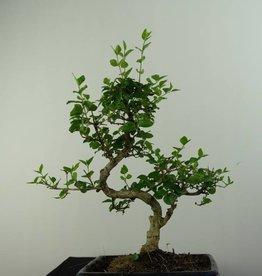 Bonsai Privet, Ligustrum nitida, no. 6836