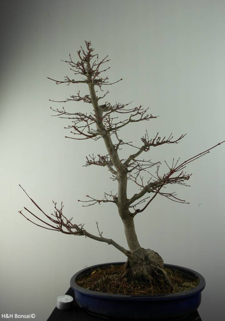 Bonsai Japanese maple, Acer palmatum, no. 6839