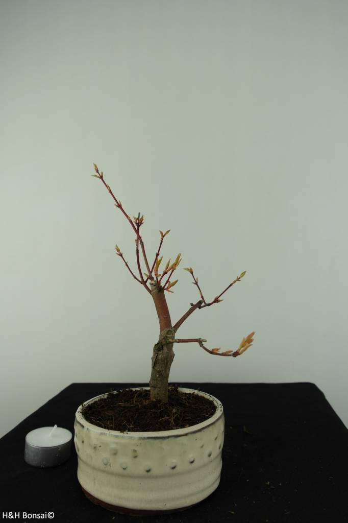 Bonsai Acer Palmatum, Arce palmatum, no. 6894