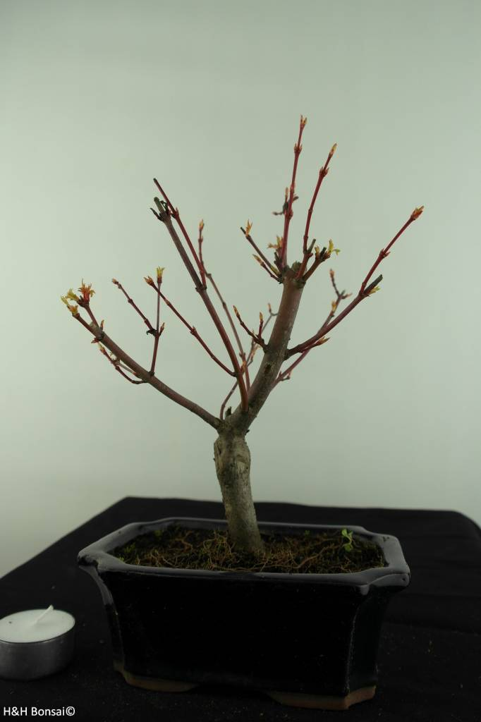 Bonsai Acer Palmatum, Arce palmatum, no. 6937