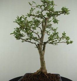 Bonsai Variegated Privet, Ligustrum variegata, no. 6985