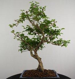 Bonsai Ligustrum sinense, no. 6986