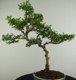 Bonsai Ligustrum sinense, no. 6988