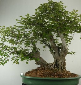 Bonsai Ulmus,Olmo chino, no. 7009