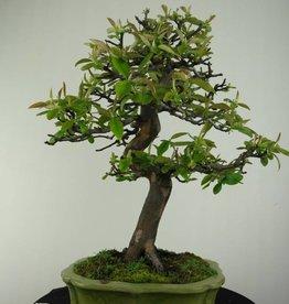 Bonsai Quince, Cydonia oblonga, no. 4485