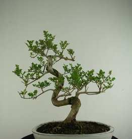 Bonsai  Fresno, Fraxinus sp., no. 6729