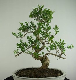 Bonsai  Fresno, Fraxinus sp., no. 6730