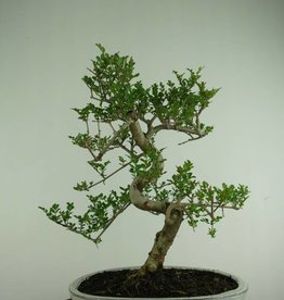 Bonsai  Fresno, Fraxinus sp., no. 6731