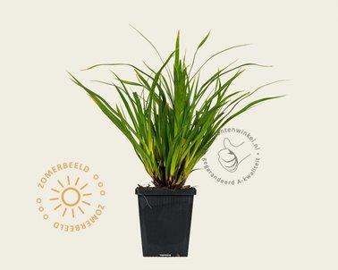 Klik hier om Carex morrowii 'Variegata' te kopen