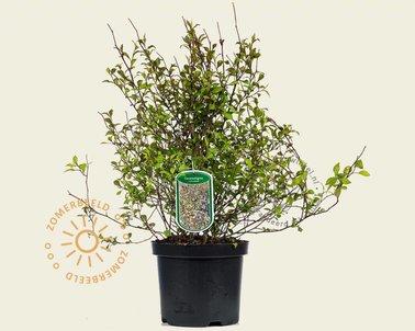 Klik hier om Ceratostigma willmottianum te kopen