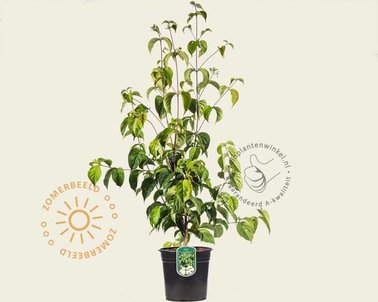 Klik hier om Cornus kousa chinensis te kopen
