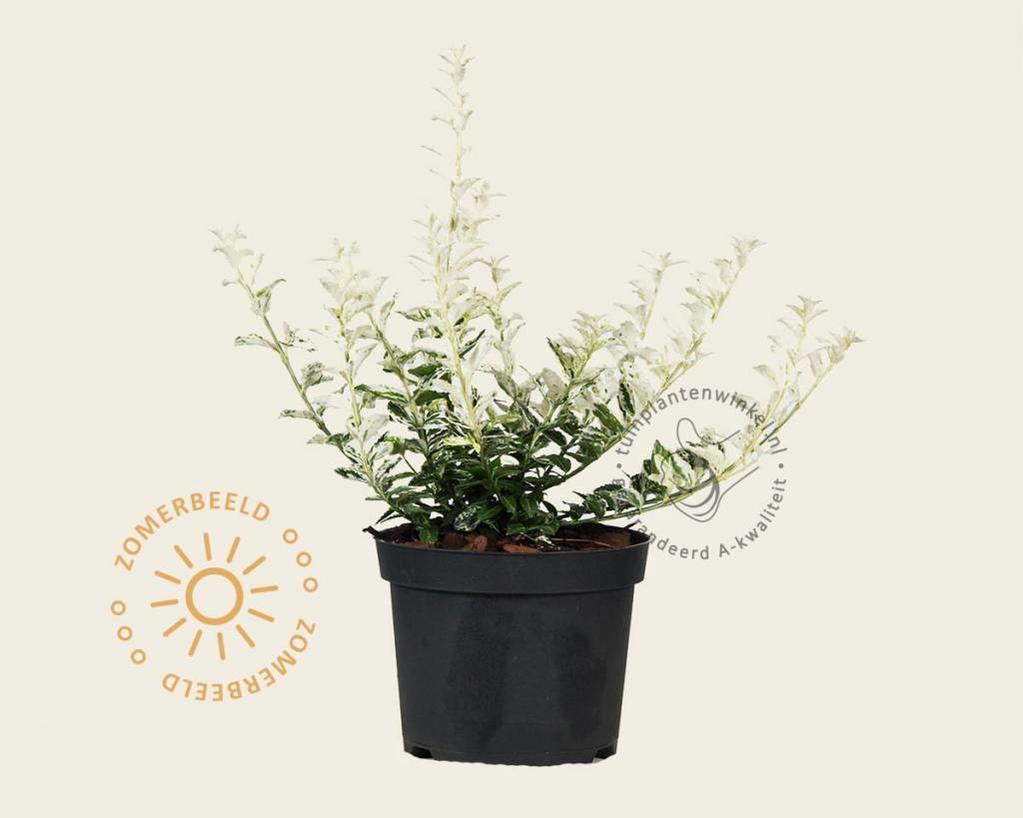 Euonymus fortunei 'Harlequin'