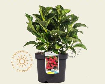 Hydrangea macrophylla 'Alpengluhen'
