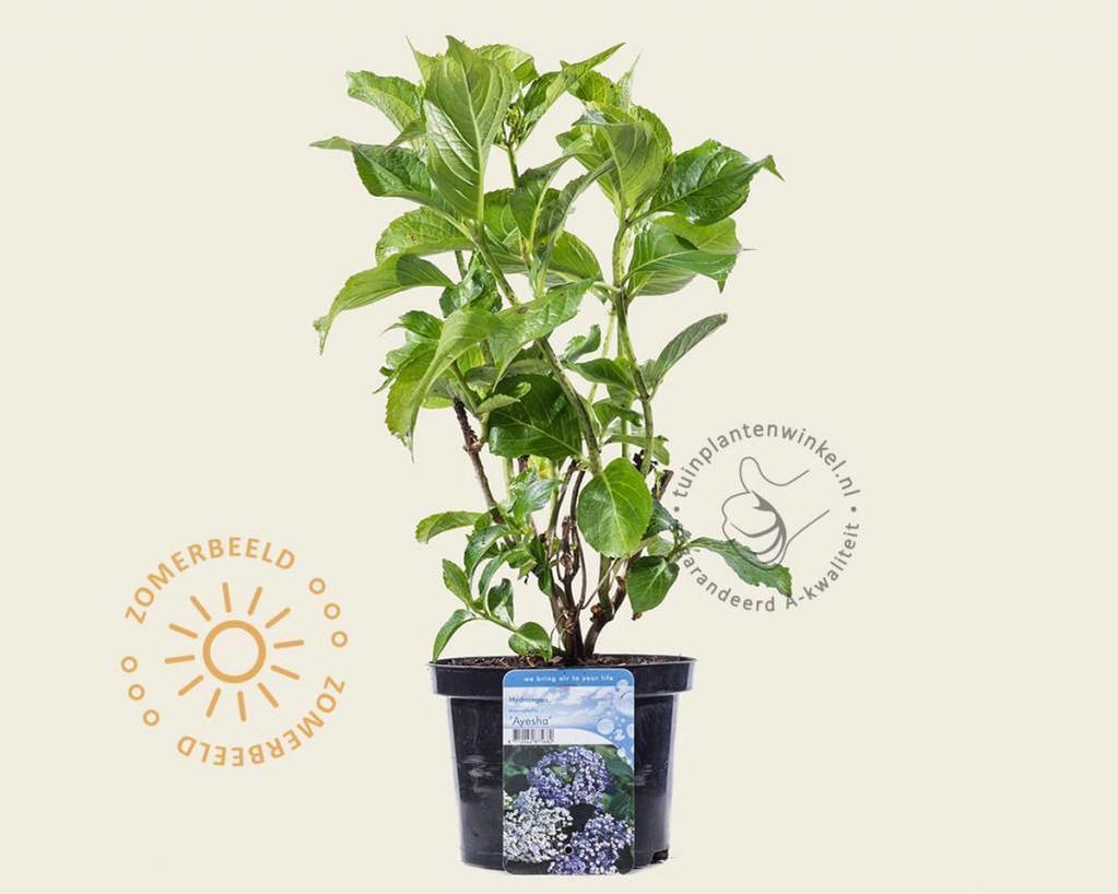 Hydrangea macrophylla 'Ayesha'