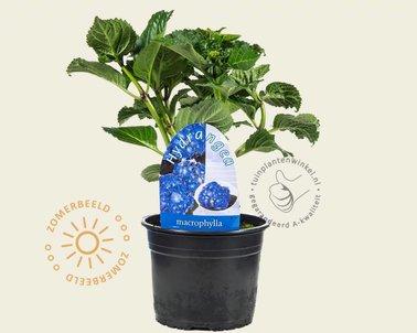Klik hier om Hydrangea macrophylla 'Bodensee' te kopen