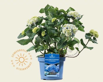 Hydrangea macrophylla 'Endless Summer Blue'