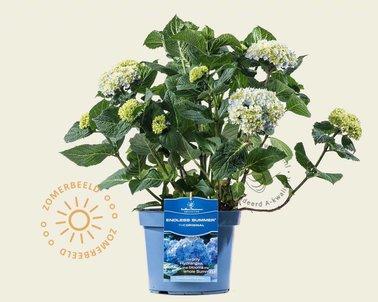 Klik hier om Hydrangea macrophylla 'Endless Summer' (Blauw) te kopen